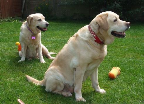 Misty - Yellow Labrador (Oldies Club - Milton Keynes) Mistymaddyoc