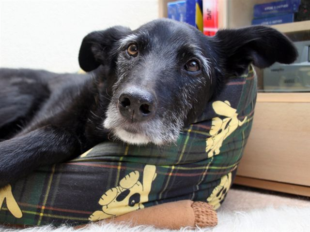 Muffin the Magnificent - Collie x Wolfhound (Wisbech) 5