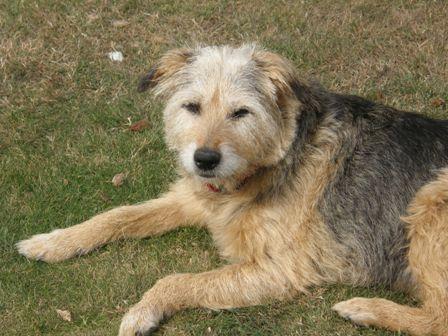 Emps the Emperor - Terrier x (Norfolk) Emps1_oc