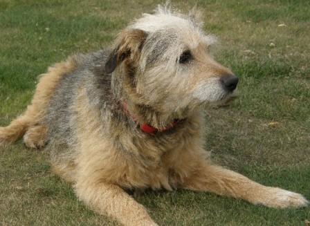 Emps the Emperor - Terrier x (Norfolk) Emps2