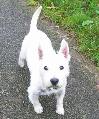 Snowy White - Westie (Notts) Snowy2_oc