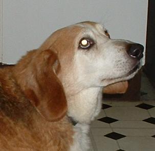 Devoted Dexter - Bassett Hound x Corgi (Milton Keynes) Dexterocface
