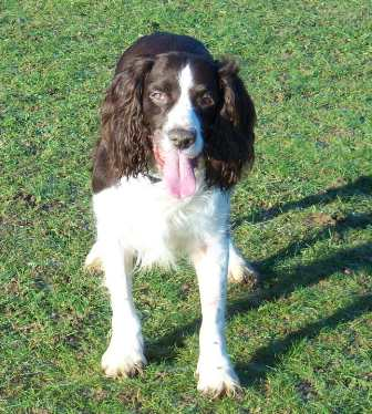 Happy Harry - Springer Spaniel (High Wycombe, Bucks) Harry2_oc