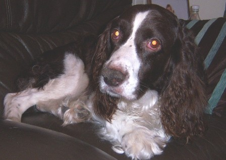 Happy Harry - Springer Spaniel (High Wycombe, Bucks) Harry_oc