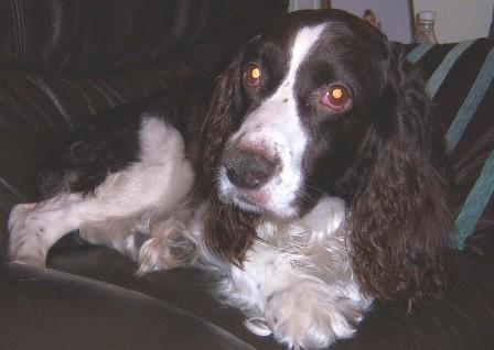 Happy Harry - Springer Spaniel (High Wycombe, Bucks) Harry_oc