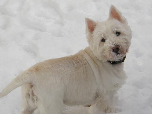Holly Snowflake - Westie (Norwich, Norfolk) Hollyocsnow
