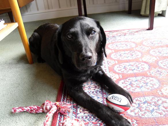 Big hearted Butch - Black Labrador (Hertfordshire) Butchocface