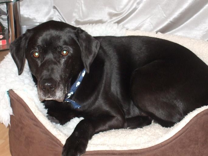 Dynamic Dylan - Black Labrador (West Sussex) Dylanocbed