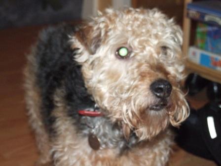 Happy Jack - Terrier X ( Stevenage, Herts) Jack_oc3