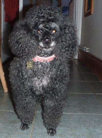 Sophisticated Sasha - Toy Poodle (Kent) Sasha1_oc
