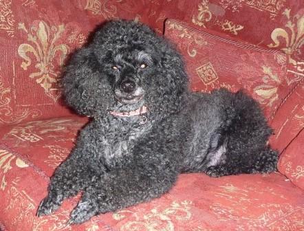 Sophisticated Sasha - Toy Poodle (Kent) Sasha3_oc