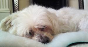 Bentley Malteser - Maltese Terrier (West Essex) 27032010176-300x161