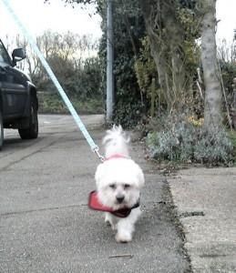 Bentley Malteser - Maltese Terrier (West Essex) 27032010186-259x300