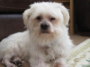 Bentley Malteser - Maltese Terrier (West Essex) IMG_12331-300x225
