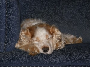 Robbie Super Spaniel (Norwich) P3080006-300x225