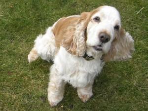 Robbie Super Spaniel (Norwich) P3120001-300x225
