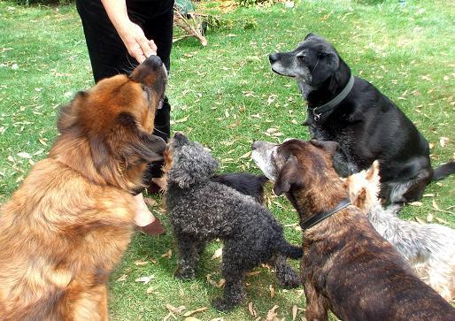 Brindle Beau - Labrador x Staffie (Wigan) BeauFriends
