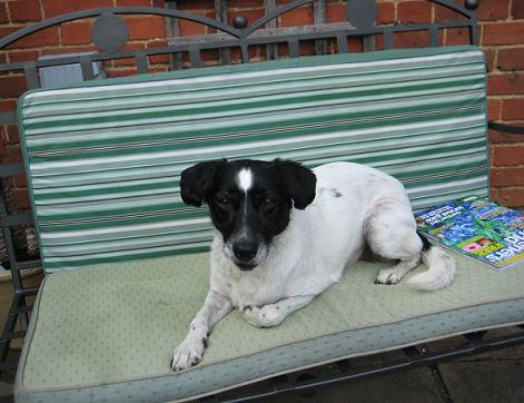 Lively Lucy - Collie X (Wheathampstead, Herts) LucyCollieX