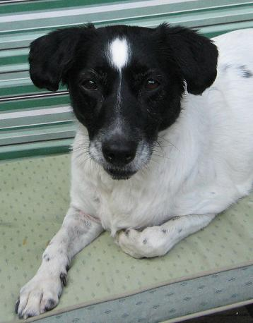 Lively Lucy - Collie X (Wheathampstead, Herts) LucyCollieXFace