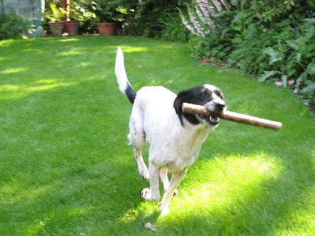 Lively Lucy - Collie X (Wheathampstead, Herts) LucyCollieXStick