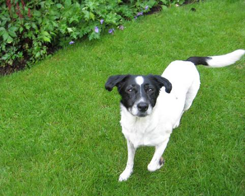 Lively Lucy - Collie X (Wheathampstead, Herts) LucyCollieXTail
