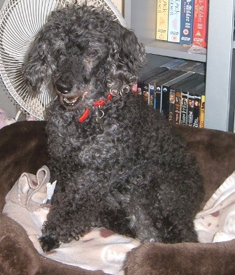 Lovely Lucy - Toy Poodle (Beccles, Suffolk) Lucypoodle1