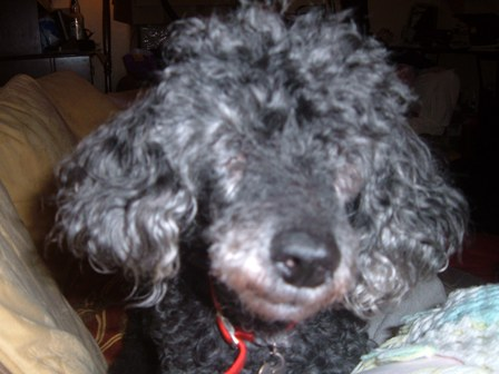 Lovely Lucy - Toy Poodle (Beccles, Suffolk) Lucypoodle4