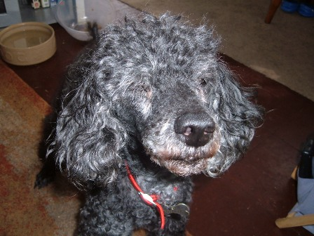 Lovely Lucy - Toy Poodle (Beccles, Suffolk) Lucypoodle7