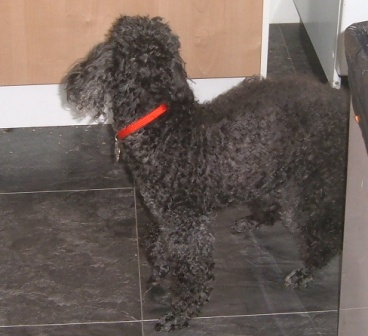 Lovely Lucy - Toy Poodle (Beccles, Suffolk) Lucypoodle8