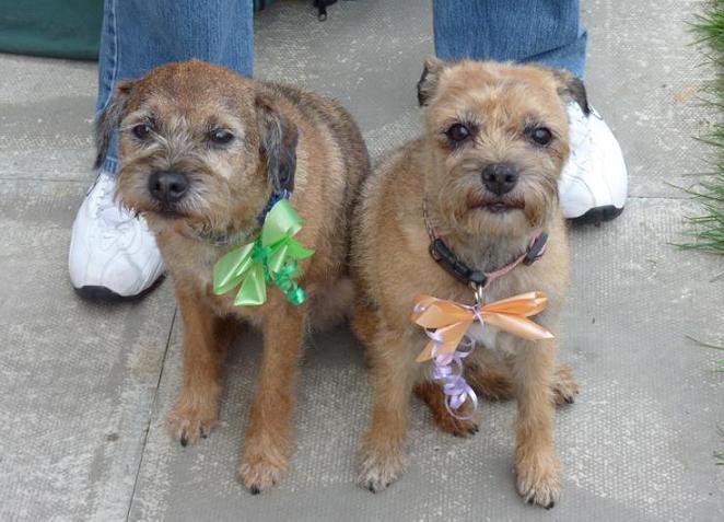 George & Meg - Border Terriers (Bath, Somerset) GeorgeMeg