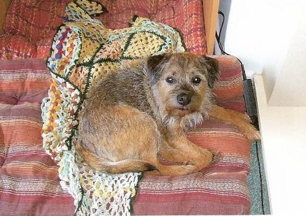George & Meg - Border Terriers (Bath, Somerset) George_Before_Clip