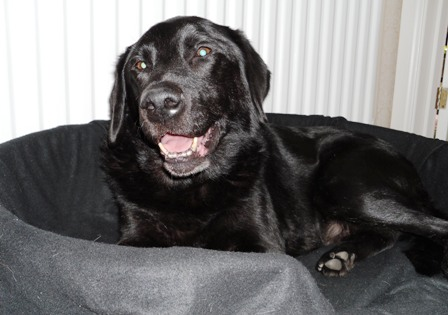 Harvey - Black Labrador (Milton Keynes) Harvey2