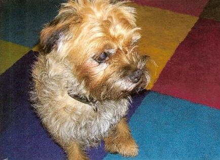George & Meg - Border Terriers (Bath, Somerset) MegBeforeClip