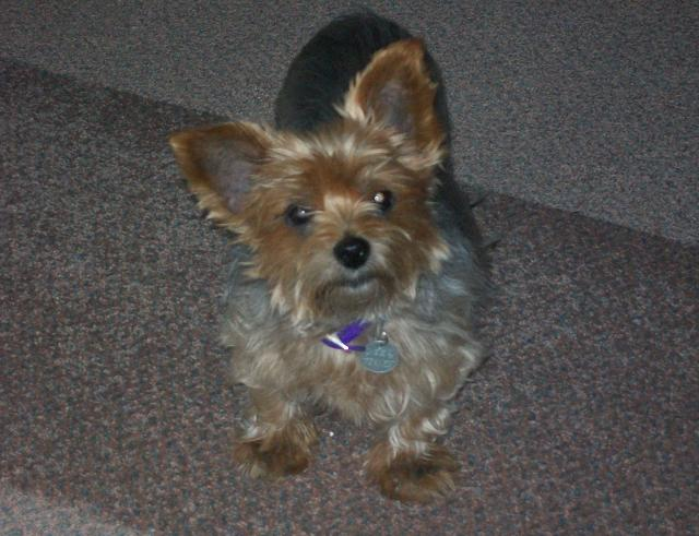 Pretty Penny - Yorkshire Terrier (Barnsley, South Yorkshire) PennyStep