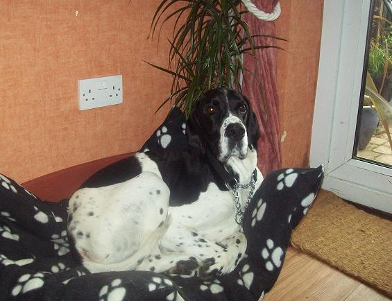 Harry - Pointer (Sleaford, Lincs) HarryBed