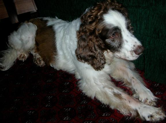Lady & Tassel - Springer & Collie X - Herts LadyDown
