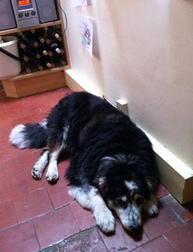 Buster - Collie x Bernese MD (Herts) BusterDown