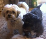 Douglas and Lulu – Devoted and True (Oldies Club, fostered Essex)
