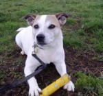 Trixie (Dogs Trust West Calder, Scotland)
