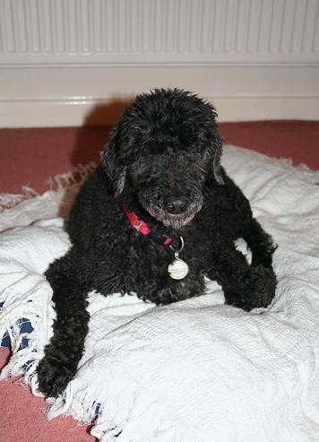Billy - Poodle (Norfolk) BillyOCFace