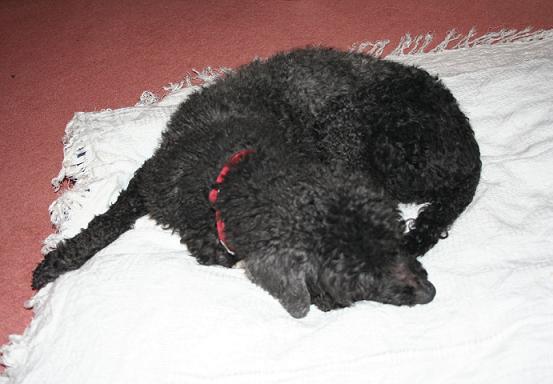 Billy - Poodle (Norfolk) BillyOCSleeps
