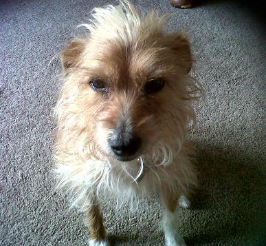Fizz - Terrier X (Essex) FizzSits3