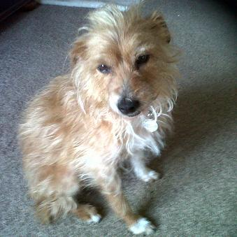Fizz - Terrier X (Essex) FizzThumb