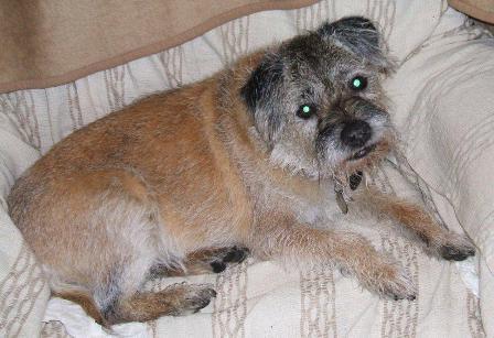 Murray - Border Terrier (Bath) Murray_bed