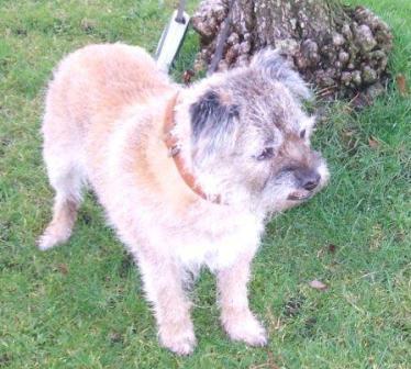 Murray - Border Terrier (Bath) Murray_tree