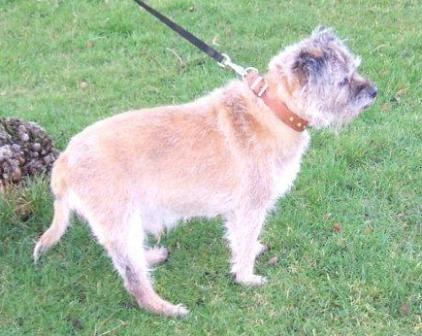 Murray - Border Terrier (Bath) Murray_walk