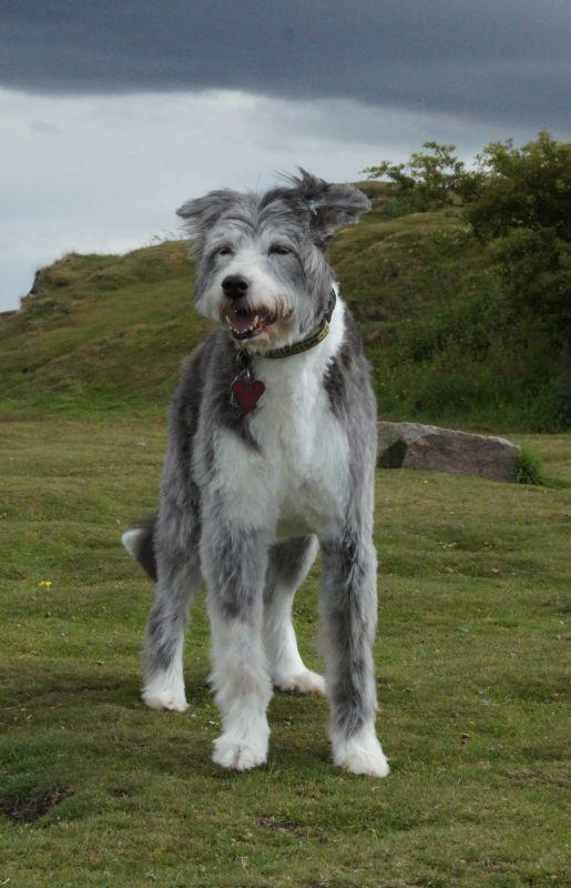 Kya - 14 year old Lurcher (Cornwall) Kya2