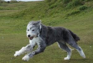 Kya - 14 year old Lurcher (Cornwall) Kya5-300x202