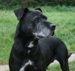 Molly (Doris Banham Dog Rescue, kennelled Notts)