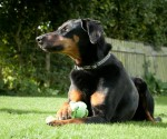 Zpecial Zak Dobermann (Oldies Club, fostered Berkshire)
